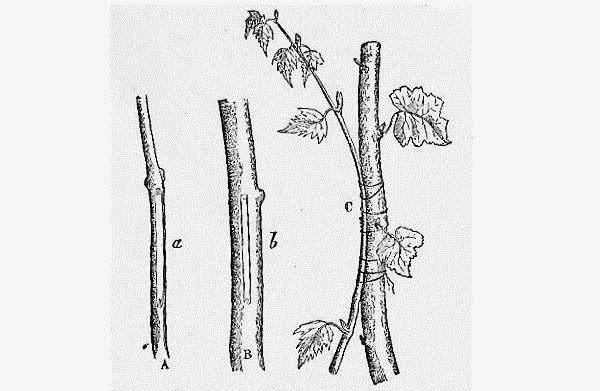 kỹ thuật ghép cành cây bưởi làm cảnh