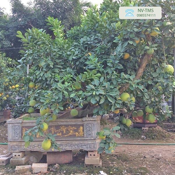Bưởi cảnh Văn Giang - Bưởi cổ thụ ghép Phật thủ, Cam canh