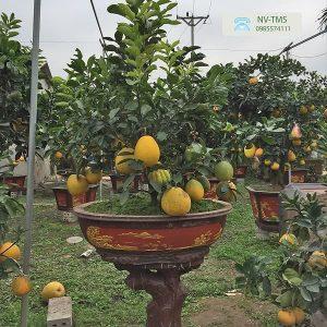 Bưởi ang Văn Giang