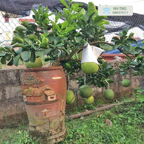 Bưởi cảnh Văn Giang - Bưởi bonsai đẹp nhất
