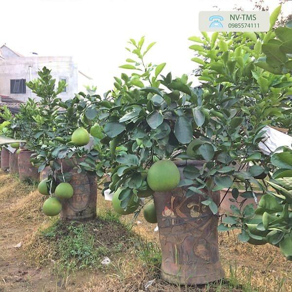 Bưởi cảnh Văn Giang - Bưởi bonsai hút khách