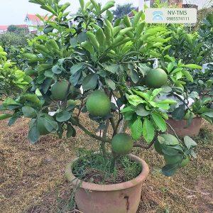 Bưởi cảnh Văn Giang - Bưởi bonsai giá rẻ
